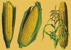 Free vector Engraved Corn Illustrations #14234