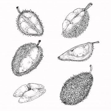 Free vector Set of vector illustrations, icons of a durian fruit #23007