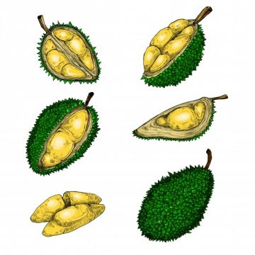 Free vector Set of vector illustrations, icons of a durian fruit #23005